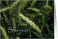 Shavuot - wheat card