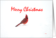 Merry Christmas : Cardinal in the snow card