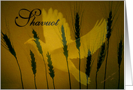 Shavuot / Wheat with a dove card