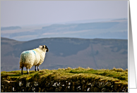 Sheep on top of Hadrian's wall Northumberland - Sheep With View card