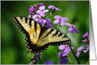 Eastern Tiger Swallowtail Butterfly (Papilio glaucus) card