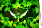 Emerald Swallowtail (Papilio palinurus) card