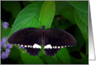 Common Mormon butterfly (Papilio polytes) card