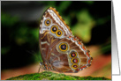 The Common Blue Morpho Butterfly (Morpho peleides) card