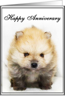 Happy Anniversary Pomeranian puppy card