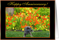 Happy Anniversary English Mastiff puppy card
