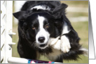 Border Collie doing agility card