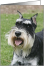 Oliver the Miniature Schnauzer card