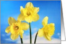 Easter Daffodils Against a Blue Sky card