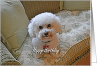 Happy Birthday, Bichon card