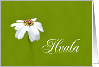 Hvala means Thank You in Slovenian White Daisy card