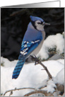 Blank Note Card, Bluejay Bird in Snow card