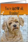 Grandma's Birthday Humor-poodle with a cute expression card