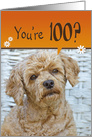 100th Birthday, cute brown poodle with a humorous expression card