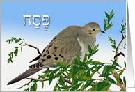 Pesach in Hebrew, Mourning Dove with Olive Branch card