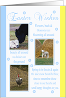 Easter Card With Farm Animals, Cow, Calf, Lamb, Chicken card