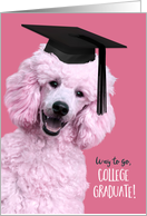 College Graduation Fun Congratulations Tickled Pink Poodle in Cap card