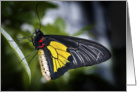 Golden Birdwing Butterfly card