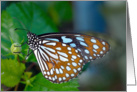 Blue Glassy Tiger Butterfly (Ideopsis vulgaris) card