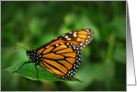 Monarch Butterfly (Danaus plexippus) card