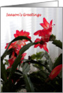Red Christmas Cactus card
