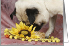 Lola the Pug checks out the Daisy Hat card