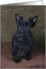 Ashley the Scottish Terrier Puppy card