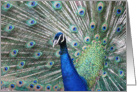 Peacock displaying its feathers card