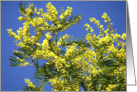 Mimosa in full bloom against blue sky card