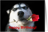 Happy Birthday Husky Dog With Rose card