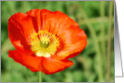 Red Iceland Poppy card