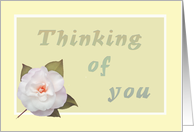 Thinking of you, white camelia card