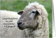 Congratulations on Your 4-H Project, Sheep Photo card