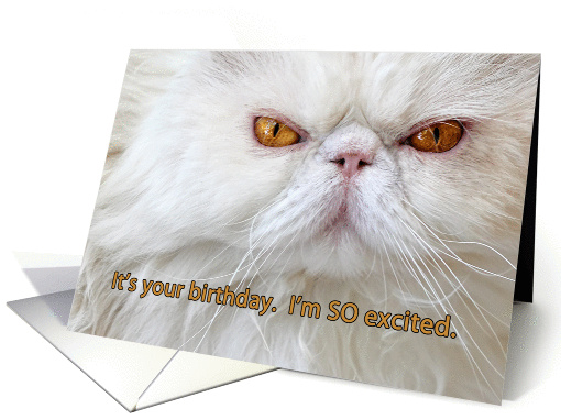 Birthday card, angry cat photograph, white Persian, humor card
