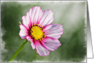 Pink Cosmos Flower on a green background card