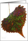 Colorful Cottonwood Leaf on White/ Autumn/Fall All Occasion card