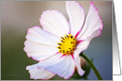 Flower - White Cosmos - all occasion blank note card