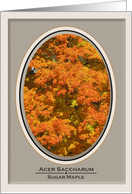 Acer Saccharum, Oval Sugar Maple in Fall card