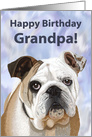 Happy Birthday Grandpa!--Adorable English Bulldog card